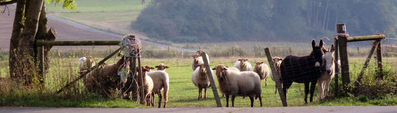 Schafe und Esel auf der Weide