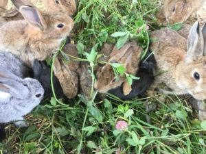 Kaninchen beim Fressen von frischen Klee