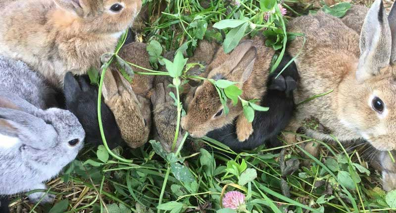 Kaninchen beim Fressen von frischem Klee