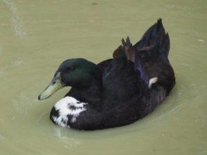 Ente auf dem Wasser