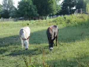 zwei Esel beim grasen auf der Weide