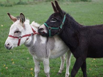 zwei Esel beim streiten