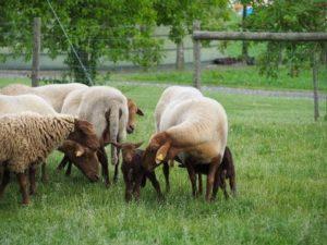 Schafe mit ihren Lämmern auf der Weide