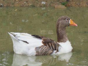 Gans beim schwimmen im umzäunten Teich