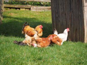 Hühner im Gehege in Fleringen