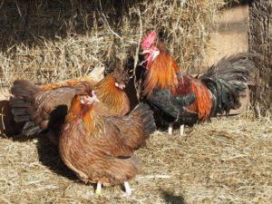 Hühner mit Hahn im Ziegenstall