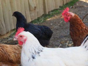Hühner auf dem Ferienhof Feinen