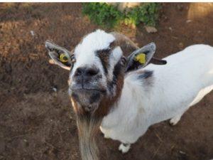 Eine Ziege schaut uns groß an als wenn Sie Hallo sagen wollte