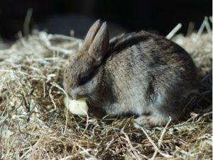 Kaninchen beim Fressen eines Apfels