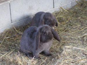 Meissner Widder vom aussterben bedrohte Kaninchenart