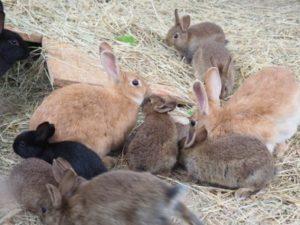 Kaninchen im Gehege bei Gras und Heu