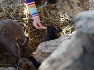 Kind füttert Kaninchen im Gehege mit Apfelstückchen