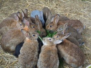 Kaninchen beim fressen von Grünfutter