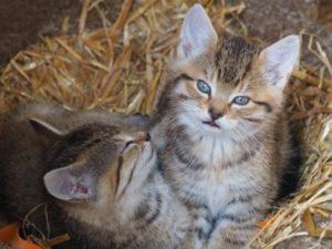 Katzenbabys im Stroh des Bauernhofes