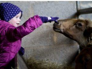 Ein Kind streichelt vorsichtig ein Eifler Fuchsschaf