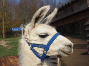 Lama in Fleringen