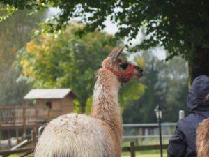Spaziergang der Gäste mit einem Lama - Lamawanderung