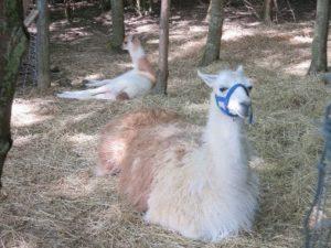 Lamas liegen im Gehege vom Bauernhof