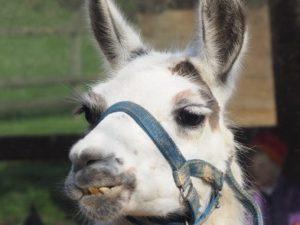 Lama zeigt seine Zähne