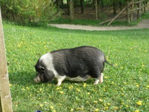 Minischwein auf einer Wiese