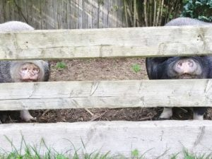 Zwei Minischweine verstecken sich hinter dem Zaun