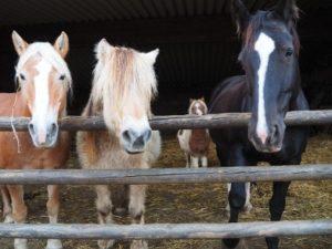 Drei Pferde im Stall