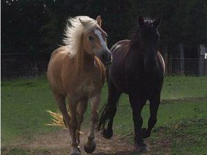 Pferde im Galopp über die Wiese