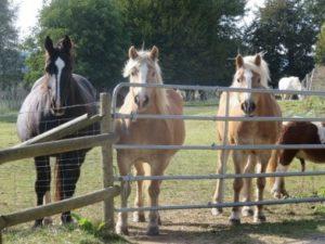 Pferde warten am Tor nach Weidegang