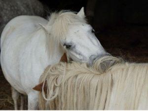 Ponys, die sich untereinander putzen