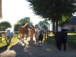 Pferde und Ponys beim reinholen in den Stall