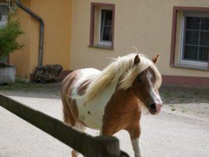 Pony auf dem Weg in den Stall