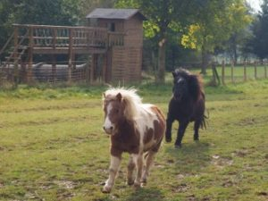 Ponys beim rennen über die Wiese