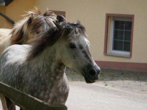 Pferde auf dem Weg zum Stall