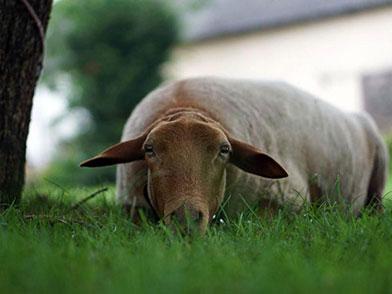 Ein Schaf liegt auf der Wiese