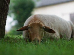 Schaf auf der Wiese unter einem Baum liegend