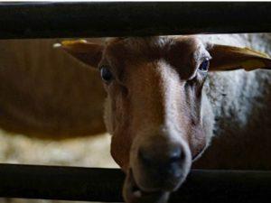 Schaf im Schafstall