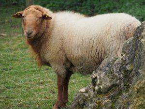 Schaf im Winterfell