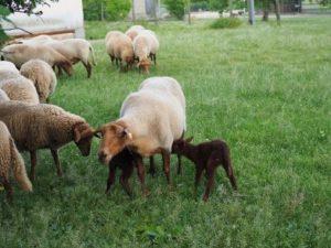Schafe mit Lämmern auf der Wiese