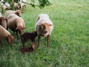 Lämmer mit Schafen auf der Weide