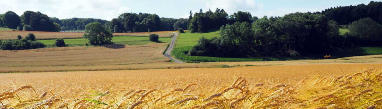 Kornfeld in der Nähe des Ferienhofes