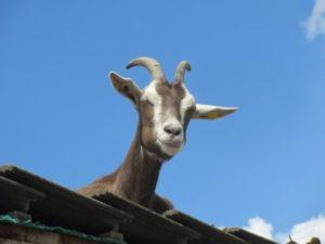 Eine Ziege liegt auf dem Stalldach und schaut herunter