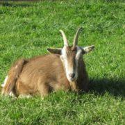 Braune Ziege liegt im saftigen Gras