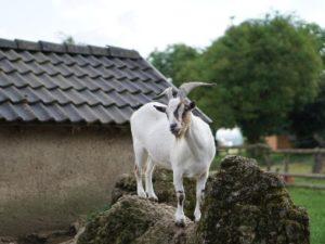 Eine Ziege steht auf Kalksteinen