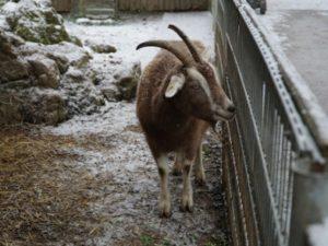 Eine Ziege bei leichtem Schneefall im Winter