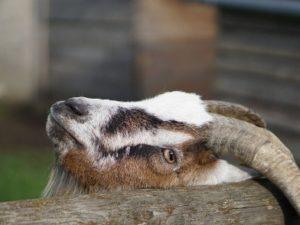 Die Ziege juckt sich mit ihren Hörnern am Zaun