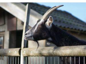 Die Ziege schaut über den Zaun in die Ferne