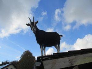 Eine braune Ziege steht bei blauem Himmel auf dem Dach ihres Stalles