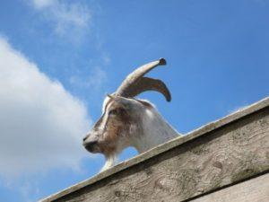 Eine Ziege blickt vom Dach in die Ferne