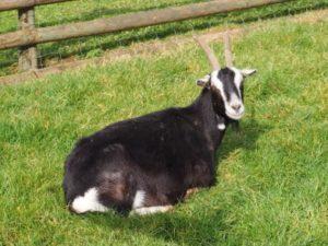 Dunkle Ziege liegend im Gras