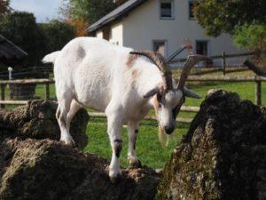 Eine weiße Ziege in ihrem Gehege auf den Steinen
